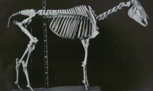Skeleton of Eclipse in the RCVS Museum
