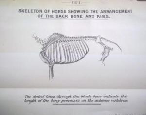 Smith - skeleton of a horse shoing back bone and ribs