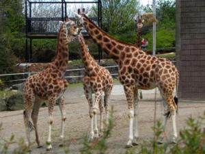 Giraffes at Belfast Zoo copyright Kenneth Allen from Georgraph