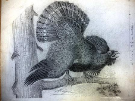 Illustration of a bird believed to be a capercaillie
