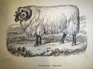 Plate 7 Cheviot Ram
