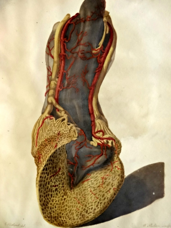 Plate 8. View of the posterior surface of the foot to shew the arteries and veins
