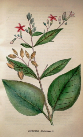 Cinchona Officinalis from The quarterly journal of veterinary science in India
