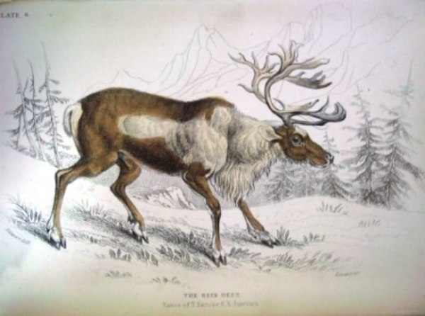 Image of Reindeer from William Jardine's The Naturalist's Library Vol 21 Mammalia: deer, antelopes, camels etc. \(London: Chatto & Windus)
