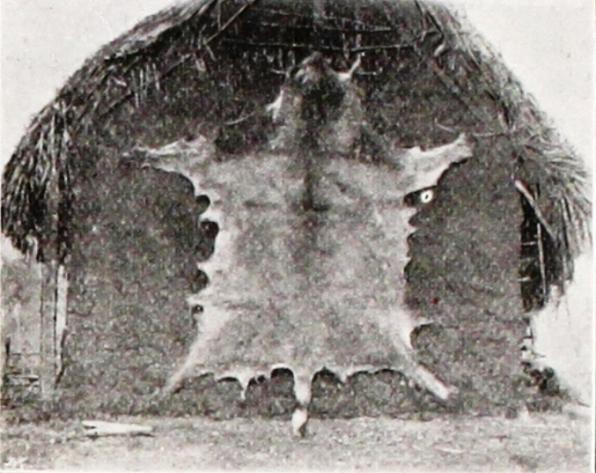 Skin of lion drying on a native hut