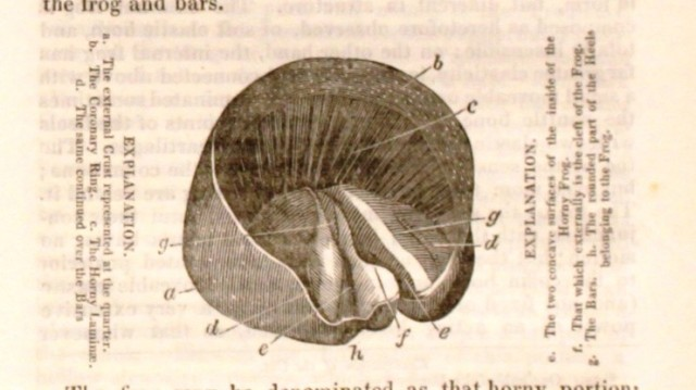 Illustration of the frog from Braddon's article on the hoof